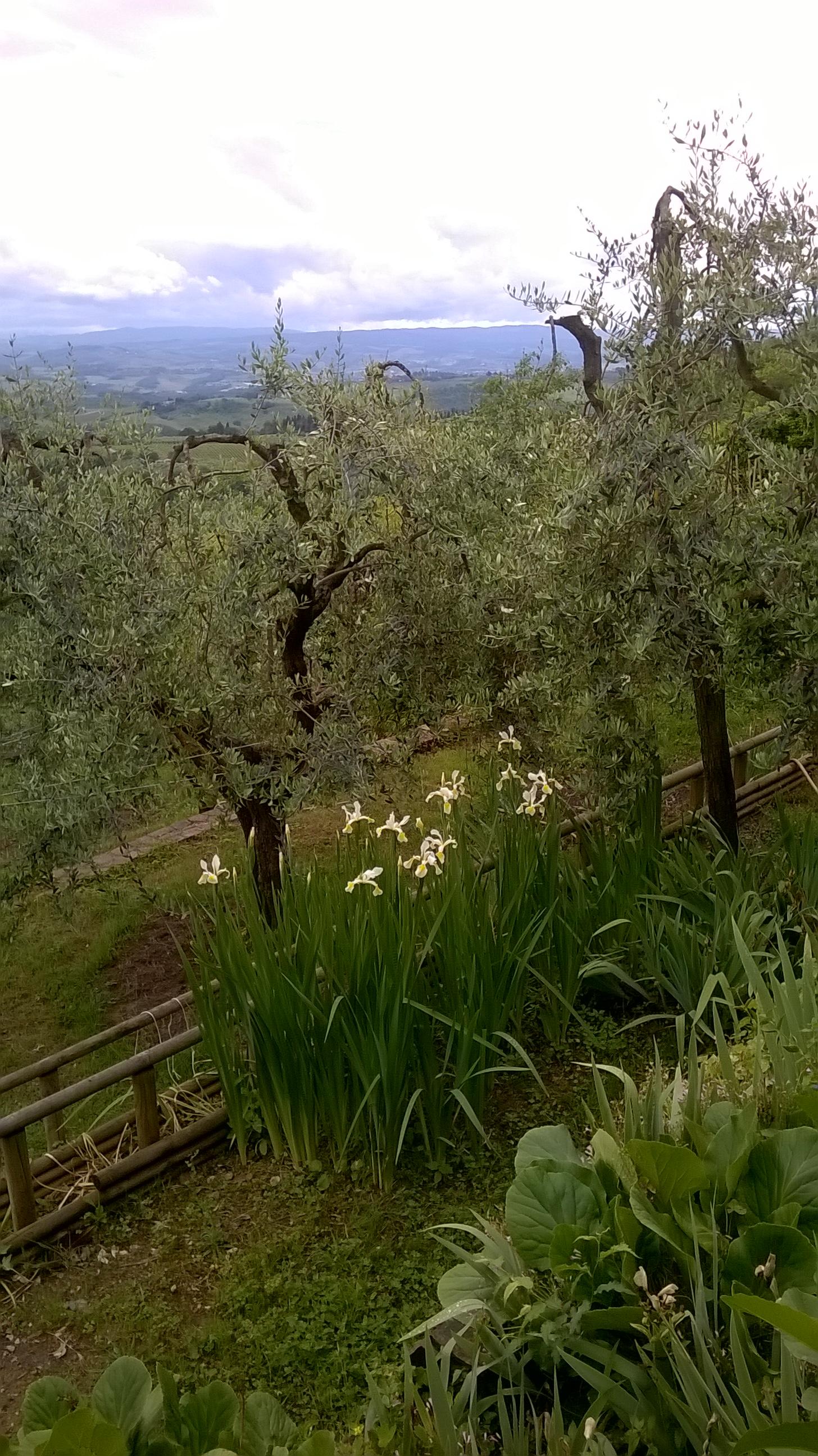 I nostri olivi e vista tra le colline.