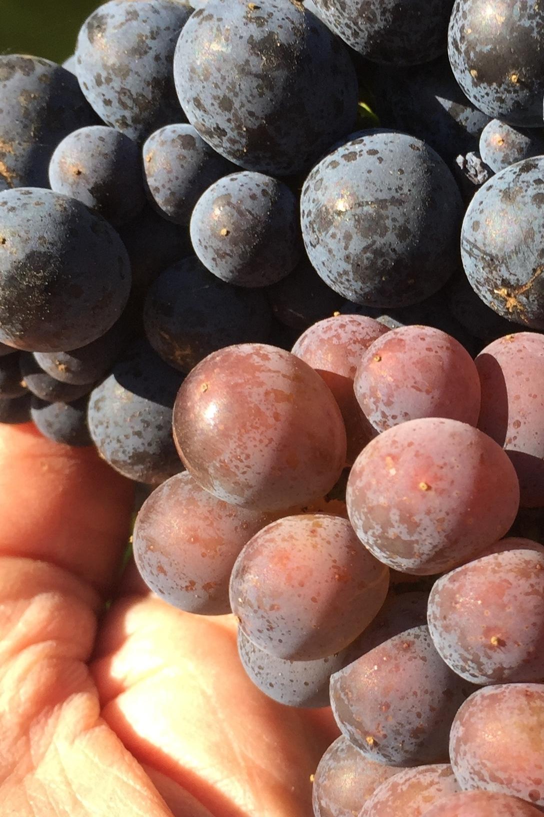 Pinot Noir & Pinot Gris in hand