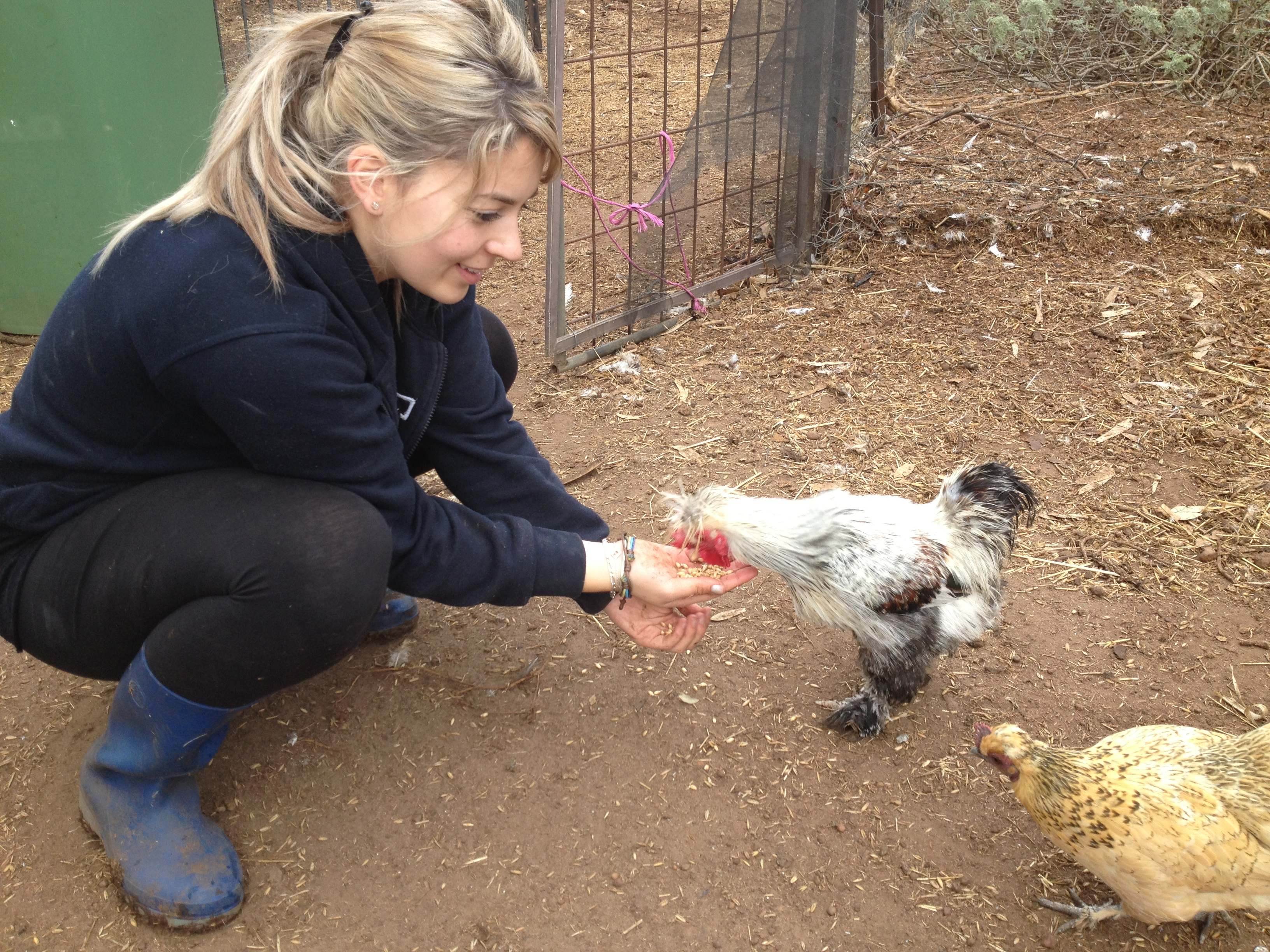 Making friends with chickens