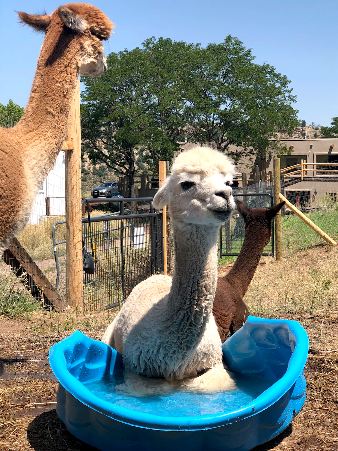 Alpacas stay cool on a hot day