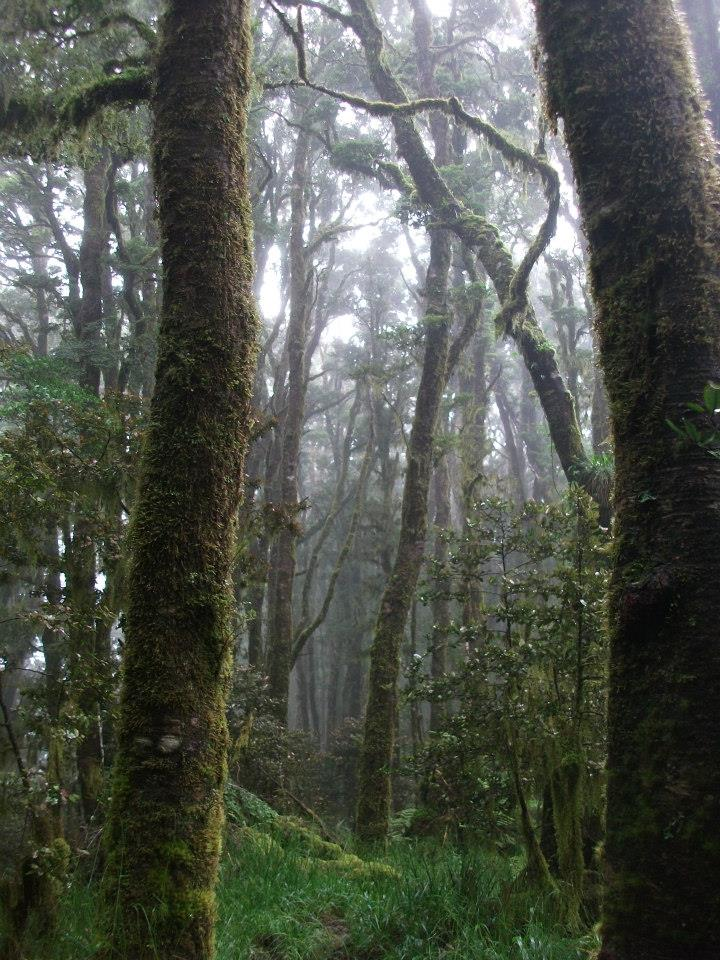 Majestic forest with the Bellbird's song